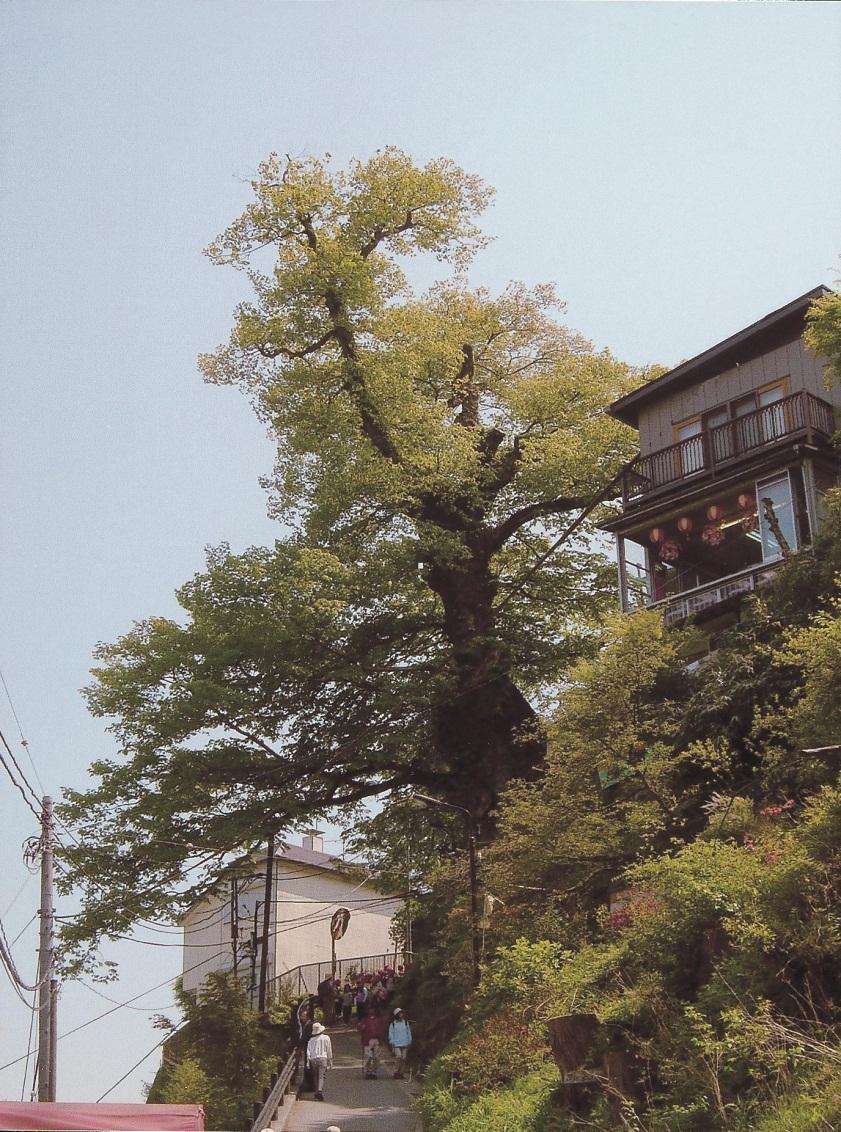 国指定天然記念物 御岳の神代ケヤキ